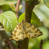 Speckled Yellow, Pseudopanthera macularia 3667