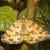 Speckled Yellow, Pseudopanthera macularia 3663