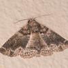 Lined Shades, Pericyma atrifusa 5940