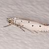 Ringed Lesser Ermine, Ethmia circumdatella 6757