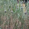 Weaver Bird nests 6239