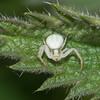 White Crab Spider, Misumena vatia 3490