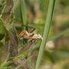 Red-fringed Conch, Falseuncaria ruficiliana P1250852