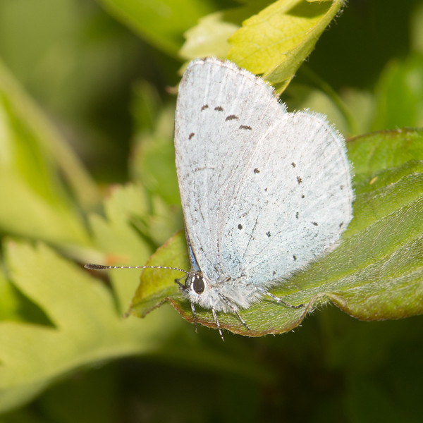 Holly Blue, Celastrina argiolus 3541