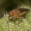 fly, possibly Scathophaga furcata 3513