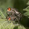 Flesh Flies mating, Sarcophaga species 3510