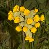 Cowslip, Primula veris 3524
