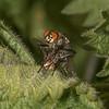 Flesh Flies mating, Sarcophaga species 3503