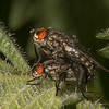 Flesh Flies mating, Sarcophaga species 3511