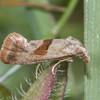 Red-fringed Conch, Falseuncaria ruficiliana 3486