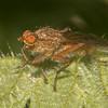 fly, possibly Scathophaga furcata 3514
