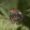 Flesh Flies mating, Sarcophaga species 3509