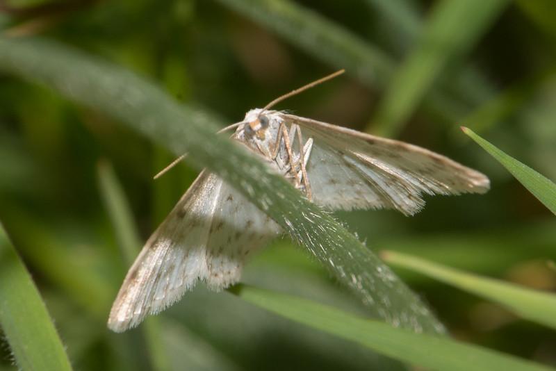 Small White Wave, Asthena-albulata 3564