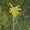 Cowslip, Primula veris 3416