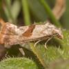 Red-fringed Conch, Falseuncaria ruficiliana 3481