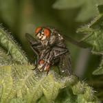 Flesh Flies mating, Sarcophaga species 3505