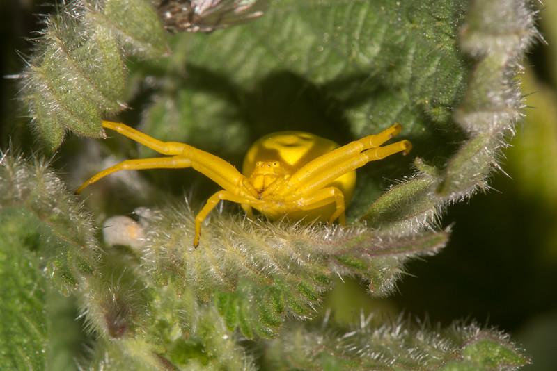 White Crab Spider, Misumena vatia 3517