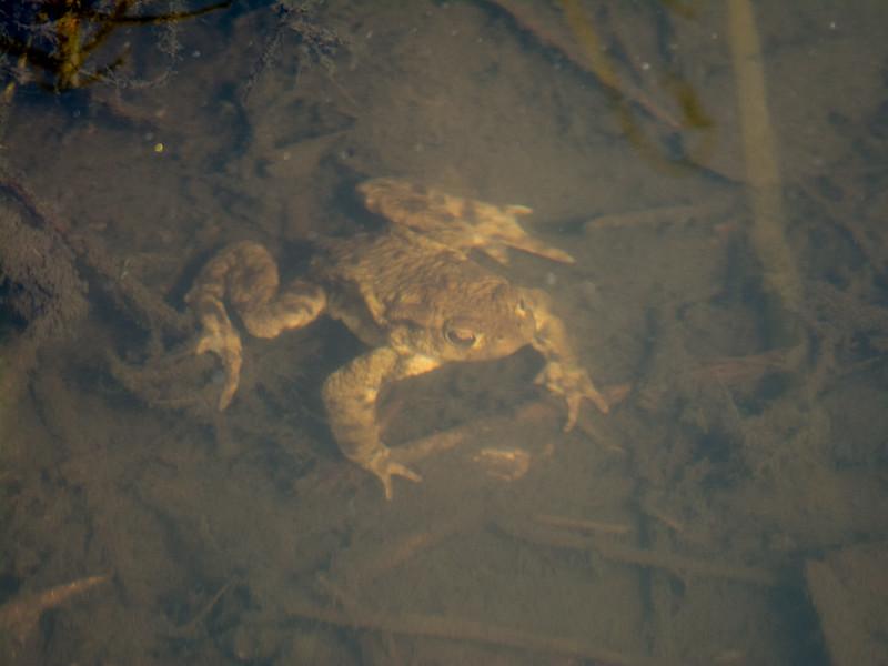 Common Toad, Bufo bufo 8730