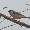 Rufus Sparrow, Passer motitensis 7913