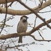 Rufus Sparrow, Passer motitensis 7912
