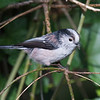 Long-tailed Tit, Aegithalos caudatus with fly 5268