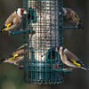 Goldfinches, Carduelis carduelis 5208