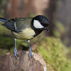 Great Tit, Parus major 5270