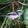 Long-tailed Tit, Aegithalos caudatus with fly 5265