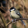 Great Tit, Parus major 4760