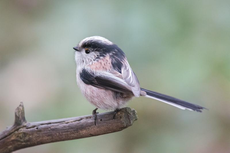 Long-tailed Tit, Aegithalos caudatus 4419