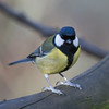 Great Tit, Parus major 4242