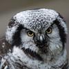 Northern Hawk Owl ♀, Surnia ulula, Aurora 2012 6402