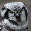 Northern Hawk Owl ♀, Surnia ulula, Aurora 2012 6401
