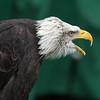 Bald Eagle ♂, Haliaeetus leucocephalus, Orn 2002 6388