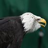 Bald Eagle ♂, Haliaeetus leucocephalus, Orn 2002 6389