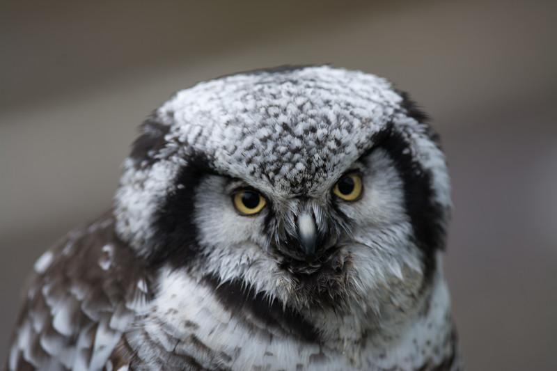 Northern Hawk Owl ♀, Surnia ulula, Aurora 2012 6403