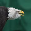 Bald Eagle ♂, Haliaeetus leucocephalus, Orn 2002 6390