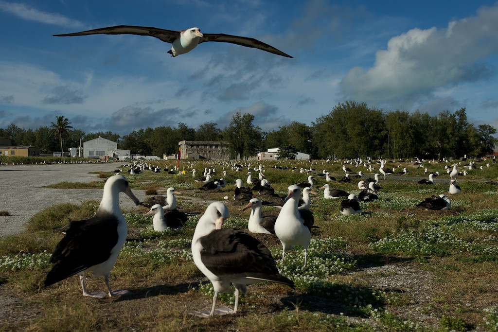 """Layson Albatross Field - Midway Island, North Pacific<br /> <br /> I am a super huge fan of close intimate images of wildlife.  This gives you a perspective you might not see.  Frame filling face shots are particularly interesting to me.  Then again, I'm a large fan of inflight bird photography.  There's is nothing more satisfying than getting a perfectly framed, exposed, fleeting shot of a bird quickly flying by.  Finally, I love landscape photography.  With scenics you see this impression of place that you can only get if you're in a contemplative mood.  Well... how about combining the three modes into one image?  Well, that's a thought.<br /> <br /> Rarely when shooting wildlife do I shoot to establish """"place"""" in the image.  I normally get that inflight bird shot or the close portrait which neither really establish the environment the subject is in.  Most of the time I think implementing a image with """"place"""" as a major feature tends to get too cluttered, there are too many elements distracting the viewer.  That normally causes me to just abandon the attempt and get back to shooting the portrait or flight shot.<br /> <br /> Sometimes, however, it's just works.  In this case, I was shooting these birds at close range and low to the ground to get an interesting perspective of their dealings with each other.  Then I saw the birds flying by.  Then I saw a bird in the distance heading this way.  The image simply just came together.  <br /> <br /> While it's not the most pretty image by any means, it does so very clearly what the environment is like for these birds without being too cluttered and confusing.<br /> <br /> Cheers<br /> <br /> Tom"""