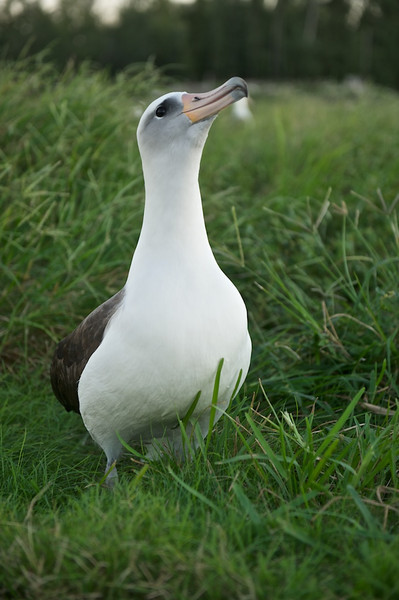 Layson Albatross Portrait - Midway Island, North Pacific<br /> <br /> With bright cloudless skies there's only a very short time where the photographic challenges disappear with the arise of nice even light you might see with an overcast.  In this case, the sun just dipped below the horizon eliminating all harsh direct light and unwanted shadows. <br /> <br /> This perfect light is very short, maybe only minutes.  Having a good subject like this bird to take advantage of such circumstances is always a blessing.