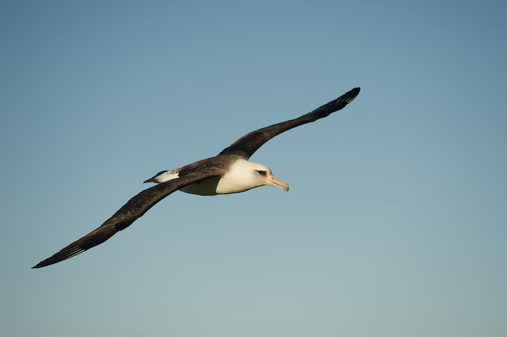 In-flight Layson Albatross - Midway Island, North Pacific<br /> <br /> I used to use a 70-200mm f/2.8 lens.  Since converting to mostly full 35mm framed shooting--i.e. my Nikon D3--I found the lens wanting and sold it.  At Midway, I found that focal length perfect when I used my 20 year old 180mm f/2.8 fixed focal length lens.  The problem was that lens auto-focus system was of a mechanical design meaning it wasn't quite fast enough as my other higher-tech lenses I would've used when shooting birds in flight.  As a result, many easily photographable bird shots were lost.  The lens was simply too slow.<br /> <br /> When I return to Midway, I'll use a borrowed 70-200mm f/2.8 lens with hopefully better success.  That's not saying I wasn't happy with what I have.  It's only saying I'm hoping to maximize my opportunities during these rare, once in a life-time opportunities.