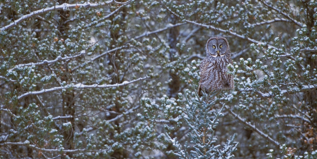 "Owl In Tree - Cold Lake, Alberta<br /> <br /> A close family member was recently diagnosed with breast cancer.  Beyond the ""sucker punch"" as she calls it, she's still finding out what type let a lone the treatment for this disease.  It's still early in the diagnose phase in other words.<br /> <br /> Being the creative that she is and the generally awesome chick that can laugh when most others are falling about themselves overwhelmed with life's little issues, she decided to start a blog.  Her first two posts were commentaries about the discovery and her personal experience of finding out.<br /> <br /> She also shared in her circle of friends that writing this way was exposing herself  it was kind of like being naked.  It's one thing sharing with your closest friends and family.  It is completely a different matter when you're full open-kimono with the general public.  Brings ""being naked"" to a whole new level.<br /> <br /> I thought through what she wrote.  I thought about my own experiences when encountering hardship.  I thought about how sharing in that knife cutting honest kind of way and how that differs from writing like you're updating an antiseptic form letter.  The key difference is the former is about experiencing the writer through words vs the latter where you're just reading words.<br /> <br /> You see, you are the key.  You are the linch-pin to creating compelling art vs just another run of the mill technically competent piece.  The former is all about transmitting a personal experience.  The latter is simply recording data.  Those are two totally different things.  And, really... The former is art while the latter is not.<br /> <br /> Here's the thing, there are risks involved here.  By displaying yourself through your art in this way you are exposed in a large and dynamic way.  By being in open-kimono mode, you are revealing yourself to total strangers without the normal safety mechanisms in place that you might use if you met someone with a handshake.  That means all the potential issues are right there--rejection, ridicule, belittling, anything you can think of negatively.  They are all potentially right there.  That's a problem isn't it.<br /> <br /> What I am describing is there is a cost to being this way.  Let me say, it's all worth it.<br /> <br /> If you have an inkling that you want to connect with anyone through your art--name type of creative art here--you have to expose yourself.  Think of what you've read that's made a real impact on you.  I'm not talking stuff that merely looks great and is catchy.  I'm talking stuff that makes a difference.  That type of content has a human feature that's indispensable.  Without that human part, it's without the foundation that makes it compelling.<br /> <br /> I encourage you, if you're up to it, to put yourself out there, to be exposed for all to see.  In the end your art will be stronger, the community will rejoice in connecting to your experience, you will make a difference.<br /> <br /> Cheers<br /> <br /> Tom<br /> <br /> PS - I posted this particular image because it reminded me of a scene in the new movie ""The Big Year"".  The Jack Black character has an especially poignant scene with his dad when they found a Great Gray Owl just like this.  The scene reminded me why I like nature photography and the many surprises it brings.  I thought I'd share one of those surprises with you."