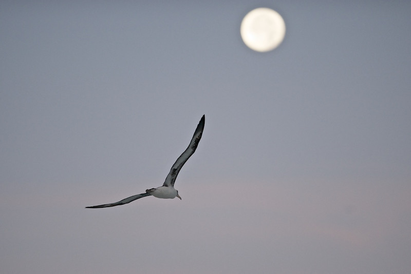 "Flying Into the Moon - Midway Island, North Pacific  <a href=""http://www.tom-hill.biz/Galleries/Birds/Seabirds/20928787_cmfTqm#!i=1663600943&k=Ft85CWv"">  Link To Original Image </a>  Placing wildlife photogenically with a full moon is a bit of a challenge.  For some, it's like pursuing the holy grail--always sought but never achieved.  For me, I've had medium success at this.  Still, anytime I can get a reasonable composition with a good subject and a full moon, I consider it a success."