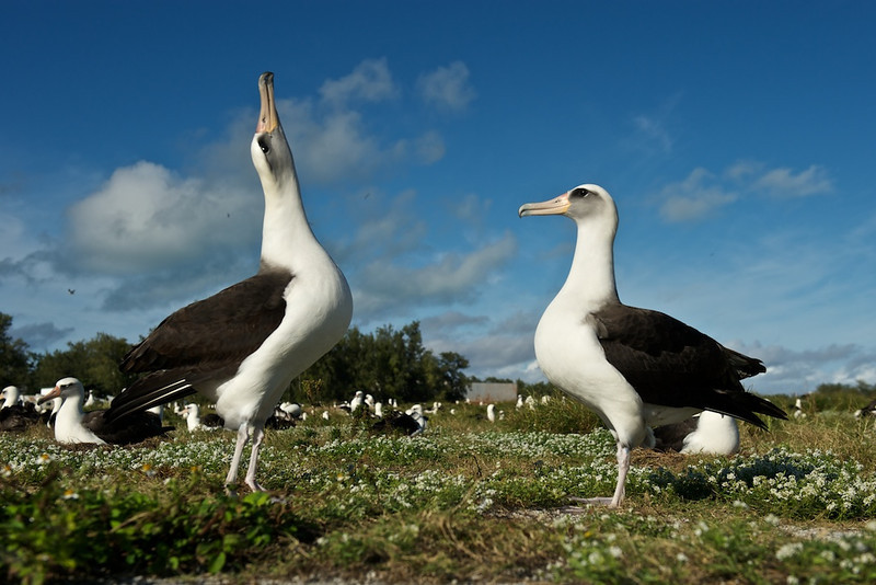 "Dancing Albatross - Midway Island, North Pacific  <a href=""http://www.tom-hill.biz/Galleries/Birds/Seabirds/20928787_cmfTqm#!i=1663607340&k=MDF6rn8"">  Link To Original Image </a>  I mentioned ealier how easy it is to approach these birds.  Well, the next lesson is about shooting from different aspects meaning where you're seeing the bird from.  Well, in this case I'm laying down in front of these two birds practically on the ground on my side to get this slightly lookup point of view.  It's all about shooting from a slightly different perspective to make the image interesting.  If I shot them from eye-height the horizon might be a problem in that it would cut right through the middle of the birds.  Here, it's not such a problem when it's at their ankles."