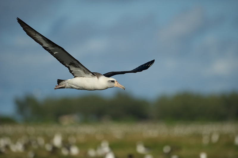 "Layson Albatross In-Flight - Midway Island, North Pacific  <a href=""http://www.tom-hill.biz/Galleries/Birds/Seabirds/20928787_cmfTqm#!i=1663608816&k=WVXz5Wx"">  Link To Original Image </a>  Obviously, with a lot of birds in the area there are lots of opportunities to shoot those birds.  Taking in-flight shots are also a dime a dozen throughout the day on Midway Island.  Once you get to a spot and check out the situation, you quickly get the impression there seem to be unmarked highways in the sky in that that birds seem to follow similar routes.  I'm not saying all bird species are like this but these Layson Albatross seem to follow very similar patterns, or it was the same bird flying by time after time after time.  Hmmmm, no.  Nah, that probably wasn't what was going on.  With a good spot, you can pick the background and wait for the right bird to fly into that background.  That's exactly the situation here.  Since the sun was so high and shadows can really be a problem, you minimize those problems by shooting directly away from the sun--i.e. have you shadow pointing in the direction you want to shoot.  When you're setup, you can simply wait for the right bird and follow it into the shooting area like it was heading for a trap.  Easy peasy.  Hmmm, easier said than done in the end.  Oh, another good thing to do is using a wide aperture to narrow the apparent depth of field.  All those little white dots in the background are out of focus birds.  This technique tends to isolate the subject which is clearly this bird passing right in front of me."