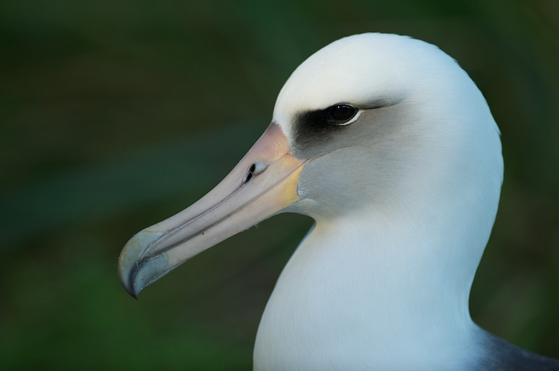 "Layson Albatross Portrait - Midway Island, North Pacific  <a href=""http://www.tom-hill.biz/Galleries/Birds/Seabirds/20928787_cmfTqm#!i=1663603749&k=tmNZ9pg"">  Link To Original Image </a>  I'm a sucker for portrait images of wildlife.  I guess it's what we would do of each other, shoot portraits.  But, wildlife, even birds such as these Albatross, portraits couldn't be done like you could in a studio.    The birds are everywhere on the island.  To find one with the right lighting is just a matter of hiking around the island and simply looking.  In this case, this bird is resting in the midst of a little overhead trees and bushes.  The trees even the light out and the bushes make the background just smooth and perfect--all things a portrait photographer would want.  I even got a little catch light from the sun peaking through then tree-tops."