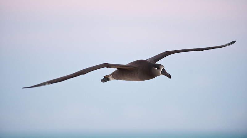 Blackfoot Albatross In-Flight at Sunrise - Midway Island, North Pacific:  File # 1124958<br /> <br /> Welcome to the new year!  Last year was a great one.  Eventually, I'll write about the accomplishments I was able to achieve in photography.  Stay tuned for that.<br /> <br /> This coming year promises to be just as exciting as the previous with at least the same number of trips and perhaps a couple new surprises.  I am hoping to buy a few important pieces of equipment to supplement with what I already have to fill needs in my ever changing way of shooting.  Who would've though my phone would be one of my primary cameras.  Well, with the advent of new technologies, I plan to take advantage of them to allow me to shoot better and deliver more amazing results.<br /> <br /> On the blog, well there are lots of changes planned including what you see here.  The format is completely different and exciting.  The biggest feature beyond the clean format is the ability to purchase your own prints using the tools my website host provides.  There will be more information on that in the coming days as well.<br /> <br /> In the mean-time, happy new year and may 2012 be just as wonderful as the last.<br /> <br /> Cheers<br /> <br /> Tom