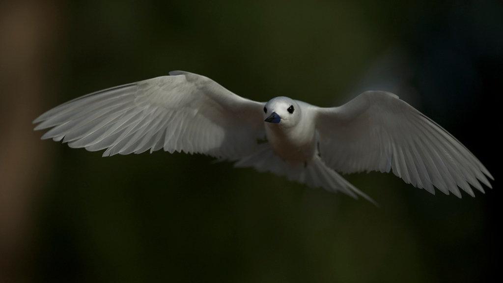 """THE LATE BLOOMER - 5 AUGUST 2012<br /> <br /> White Tern Inflight - Midway Island, North Pacific, File # 1009952<br /> <br /> As I approach my 50th birthday, I consider what lays ahead for me.  I think most people would consider this marker and later as the continuance of the 2nd half of life as in """"it's only downhill from here!""""  I'm suggesting being 50 can be a marker for the next third in ones life and it's a start of something new.  Those of us who become recognized for our talents in the later stages of life are termed late bloomers as if all those years before was wasted in preparation and discovery.  Well, I'm going to make a point in this article that those late bloomers may be just as important to us and perhaps more than those early prodigy types we're normally used to celebrating.  <br /> <br /> I've taken an interest in how we learn, how humans learn.  I think what attracts me to this subject is steeped in over-coming the challenges I wrote of in my series about creativity and organizations  <a href=""""http://www.tom-hill.biz/Blog/2012/The-Problem-Ahead-3-May-2012/22764477_Pfbdsn#!i=1826078395&k=p4fWKhN"""">http://www.tom-hill.biz/Blog/2012/The-Problem-Ahead-3-May-2012/22764477_Pfbdsn#!i=1826078395&k=p4fWKhN</a> Link to First Article).  While those articles were all about creativity, the capability of a highly adaptable mind, and those organizations that embrace these concepts, what ties these together is learning.  What I mean is a big influence of whether we accept the grand idea of the importance of creativity over more traditional and mundane things can all be about how we learn.  Surprising even to me, our capacity to learn, the capacity for our brain to develop as we get older, is far more substantial than what most people think.<br /> <br /> The brain is an amazing collection of cells organized in incredible ways.  I won't scratch the surface of how the brain works or even hows its designed.  I don't think I'll ever be that learned enough on the subjec"""