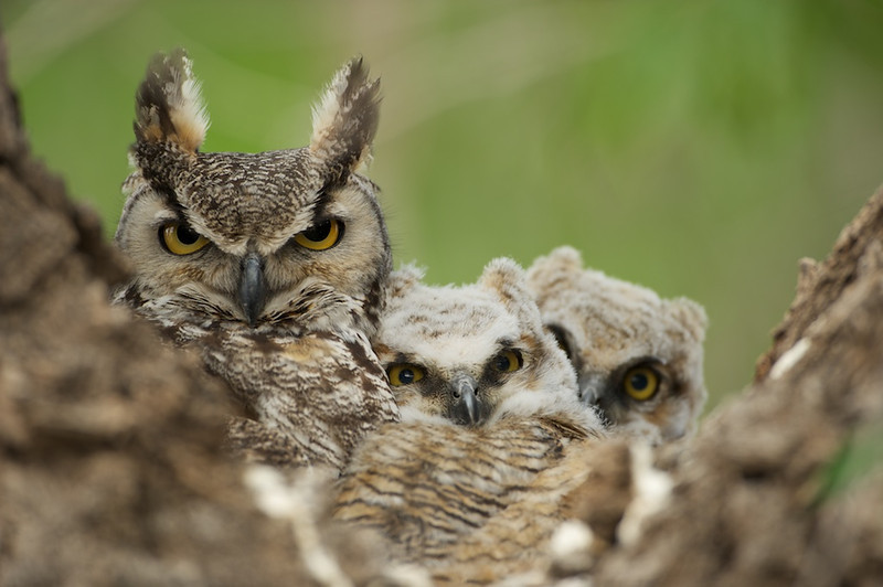 "Great Horned Owl Family - Milnesand, NM, File #1216036<br /> <br /> Link To Original Image:  <a href=""http://www.tom-hill.biz/Galleries/Birds/Raptors/20928798_32SRzC#!i=1884053308&k=2r6FtKf&lb=1&s=A"">http://www.tom-hill.biz/Galleries/Birds/Raptors/20928798_32SRzC#!i=1884053308&k=2r6FtKf&lb=1&s=A</a><br /> __________<br /> <br /> COMPLIANCE IS NOT MANDATORY<br /> <br /> One of the core tenants of a hierarchal organization is conformity.  The idea here is one part of the structure depends on the other part doing its job just as its supposed to do day in and day out.  Otherwise, they're be chaos with tasks being on willy-nilly.  As a result, your central authority will issue dictates stating compliance with specific direction is mandatory.  There'd probably be a process instituted to ensure such compliance.  To an extreme, the compliance process would be populated by specialist in the ""compliance field"" to ensure the compliance process is completed successfully.  To a degree, the compliance process and it's result becomes its own product, the product being reports on status of compliance.<br /> <br /> Compliance makes a lot of sense for basic, traditional, simple things.  These things might be precisely what your mom taught you growing up--i.e. wash your hands before eating, don't stand outside in the rain without a coat on, look both ways before crossing the street.  You get my drift.  <br /> <br /> The problem comes down to this perspective.  ""If every rule is ultimately important then none of the rules have inherent importance.""  Clearly some rules are more important than others.  But, if you remove all opportunity for judgement on the application of the rules, you remove the opportunity for the most important rules to be complied with when you need it most, at the most critical point.  <br /> <br /> BTW, I'm using compliance as a demonstration of the inadequacies of the greater iceberg that represents organizational structures designed for the industrial revolution.  You can apply the same concept to any other hierarchal benefit--i.e. centralized detailed policy distribution, personal technical specialization, centralized control, and so many more.<br /> <br /> NOT ALL IS BAD<br /> <br /> After saying all this and perhaps getting your attention, let me make a statement, ""Not everything you learned or depend on since the beginning is bad"".  Oh, far from it.  I am not making a case of ""either, or"".  I am not saying hierarchal structures, conformity, specialization, and the like are bad in every case.  I am saying they're bad as the central theme of your organization.  As a supporting theme, you betcha.  As a central theme, nope.<br /> <br /> Here's the other thing.  Let's think for a moment like a musician or an artist.  We've all been there hoping to be creative at something.  We try to get at it yet the skills don't allow us.  The drawing doesn't work.  The painting doesn't look right.  The sounds aren't what we think.  What's up with that?  For the regular arts we intuitively know the answer.  We think basic skills.  We need the basic skills to even begin to be creative in the discipline we desire.  That all makes sense, doesn't it.  Well, why would we not think that for everything we do vs just the traditional arts?  Why would we think the traditional arts are the only venue to explore our creativity?  We shouldn't.<br /> <br /> What we think about for the traditional arts are exactly what we need to be thinking about everything else--over structure is bad, under structure is bad.  Structure is a start, from that creativity can flourish.  This is simply saying ""creativity is the whole point while structure needs to be in the supporting role"".<br /> <br /> CREATIVITY NEEDS TO FLOURISH<br /> <br /> As I noted in the last two articles, the world is an incredibly changing and dynamic place.  Arguments can be made that the rate of change in culture, finances, technology, agriculture, in anything is greater now than at anytime in human history.  The question is how do we deal with these effectively.  I am taking the tact our best hope is not to keep doing what we've always been doing.  Obviously, if our previous best tactics have not been up to the challenge then something else, truly innovative needs to be embraced.  That is pointing ourselves to embracing creativity.<br /> <br /> The opportunity here is building a system that embraces creativity as a central theme yet has support structure that's truly supportive of imagination, creativity, and innovation, you'll begin to position yourself to be agile, effective, and efficient.<br /> <br /> Cheers<br /> <br /> Tom"
