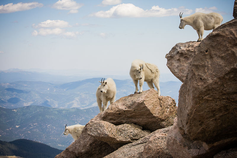 Mountain goats on the top of Mt. Evans in Colorado. (Photo: Kim Olson)