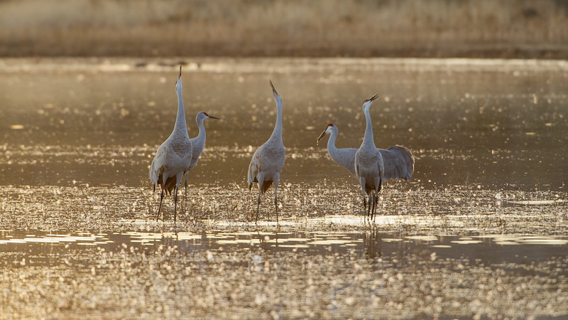 DECEMBER SOUND - 3 December 2013<br /> <br /> Sandhill Cranes Trumpeting - Bosque Del Apache National Wildlife Refuge, New Mexico<br /> __________<br /> <br /> Just back from my annual trip to Bosque Del Apache.  I've photographed there dozens and dozens of times over the years.  It never gets old.  Just when I think I've seen everything something new is thrown into the mix.  In last night's case, the backlit birds were awesome.  The way the sun went behind the distant mountain with clouds providing fill light, it was just perfect.  <br /> <br /> These birds landed and promptly got to announcing their presence.  A cranes trumpeting sound is amazing, if you ask me.<br /> <br /> Cheers<br /> <br /> Tom